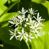 Blooming Wild Garlic or Allium ursinum, flowers in weed close-up, selective focus, shallow DOF Stock Image