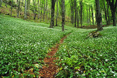 Blooming wild garlic in forest Stock Image