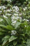 Blooming wild garlic Royalty Free Stock Image