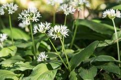 Blooming wild garlic Royalty Free Stock Photography