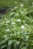 Blooming wild garlic Royalty Free Stock Photos