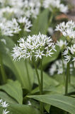 Blooming wild garlic Royalty Free Stock Photos
