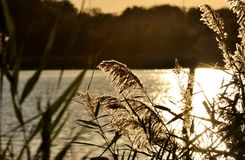Blooming wild grass over the lake at sunset. Stock Photo