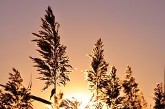 Reed grass in the light of setting sun. Royalty Free Stock Photos