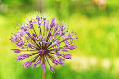 Blooming wild leek Stock Image