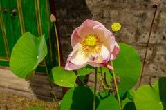 Blooming Wild Lotus Flower, Bali Island, Indonesia Royalty Free Stock Photo
