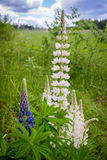 Blooming Wild Lupine flowers in a summer forest - Lupinus polyphyllus - garden or fodder plant. Blooming Wild Lupine flowers in a summer forest - Lupinus royalty free stock images