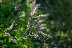 Blooming wild mint. Green summer garden Royalty Free Stock Photo