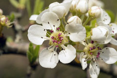 Blooming Wild Pear Stock Photo