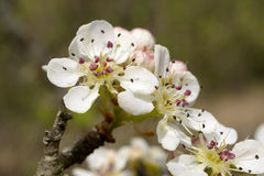 Blooming Wild Pear Royalty Free Stock Image