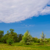 Blooming wild pear trees Stock Image