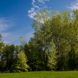 Blooming wild pear in a young birch tree Stock Photo