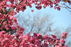 Blooming wild pink fuchsia purple crab apple tree with blue sky background and copy space. Blooming wild pink fuchsia purple crab apple tree with blue sky royalty free stock images