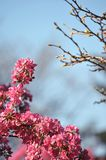 Blooming wild pink fuchsia purple crab apple tree with blue sky background and copy space. Blooming wild pink fuchsia purple crab apple tree with blue sky stock photos