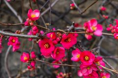 Blooming wild plum. Pink petal. Early spring in England. Amazing background stock images