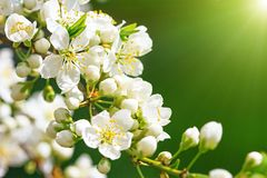 Blooming wild plum tree. In sunlight.White flowers in small clusters on a wild plum tree branch royalty free stock images