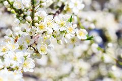 Blooming wild plum tree. In sunlight.White flowers in small clusters on a wild plum tree branch royalty free stock photography