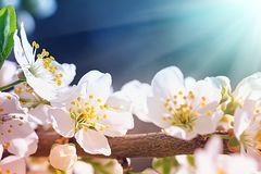 Blooming wild plum tree. In sunlight.White flowers in small clusters on a wild plum tree branch stock photos
