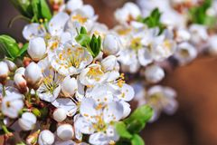 Blooming wild plum tree. In sunlight.White flowers in small clusters on a wild plum tree branch selective focus royalty free stock image