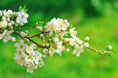 Blooming wild plum tree. White flowers in small clusters on a wild plum tree branch stock images