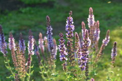 Blooming wild purple sage. Purple and blue flowers of wild sage Salvia deserta from Kyrgyzstan Stock Image