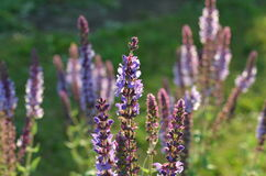 Blooming wild purple sage. Purple and blue flowers of wild sage Salvia deserta from Kyrgyzstan Stock Photography