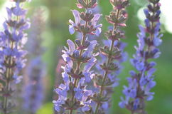 Blooming wild purple sage. Purple and blue flowers of wild sage Salvia deserta from Kyrgyzstan Stock Photo