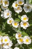 Blooming wild rose on a bright sunny day royalty free stock image