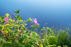 Blooming wild rose bush or dog rose, Rosa canina with sky and trees reflection stock image
