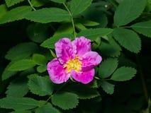 Blooming wild rose flower macro, shallow DOF, selective focus, shallow DOF.  Royalty Free Stock Image