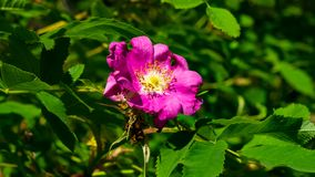 Blooming wild rose flower macro, shallow DOF, selective focus, shallow DOF royalty free stock photography