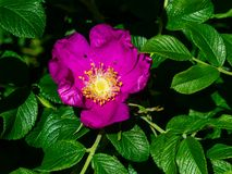 Blooming wild rose flower macro, shallow DOF, selective focus, shallow DOF.  royalty free stock images