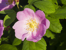 Blooming wild rose flower macro, shallow DOF, selective focus Stock Image