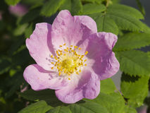 Blooming wild rose flower macro, shallow DOF, selective focus Stock Photo
