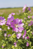Blooming wild rose on a green field. Medicinal marsh mallow Stock Photo