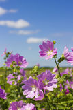 Blooming wild rose on a green field. Medicinal marsh mallow Stock Images