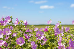 Blooming wild rose on a green field. Medicinal marsh mallow Stock Photos