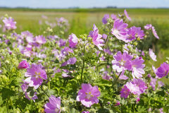 Blooming wild rose on a green field. Medicinal marsh mallow Royalty Free Stock Photo