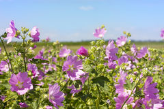 Blooming wild rose on a green field. Medicinal marsh mallow Stock Photography