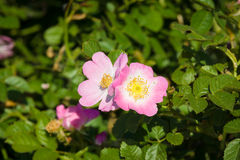 Blooming wild rose hips Stock Photography