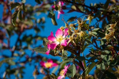 Blooming wild rose hips Royalty Free Stock Photos