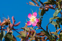 Blooming wild rose hips Royalty Free Stock Photography