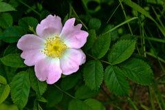 Blooming wild rose hips Royalty Free Stock Image