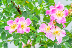 Blooming wild rose. The pink flowers of dog-rose closeup Royalty Free Stock Image