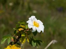 Blooming wild rose white flower macro, shallow DOF, selective focus, shallow DOF Stock Photo
