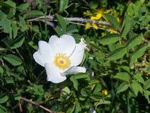 Blooming wild rose white flower macro, shallow DOF, selective focus, shallow DOF.  Royalty Free Stock Image