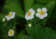 Blooming wild strawberry. Blooming a few wild strawberries in the wild royalty free stock images