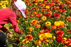 Blooming wildflowers are buttercups, red and yellow, on a kibbutz in southern Israel. Collect flowers stock photography