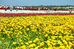 Blooming wildflowers, colorful buttercups on a kibbutz in southern Israel royalty free stock image