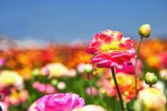 Blooming wildflowers, colorful buttercups on a kibbutz in southern Israel stock photo
